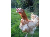 EX COMMERCIAL HENS FOR REHOMING 15 JULY