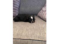 Black tan French bulldog girl