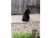 Cute Female Kittens Tabby & Black White
