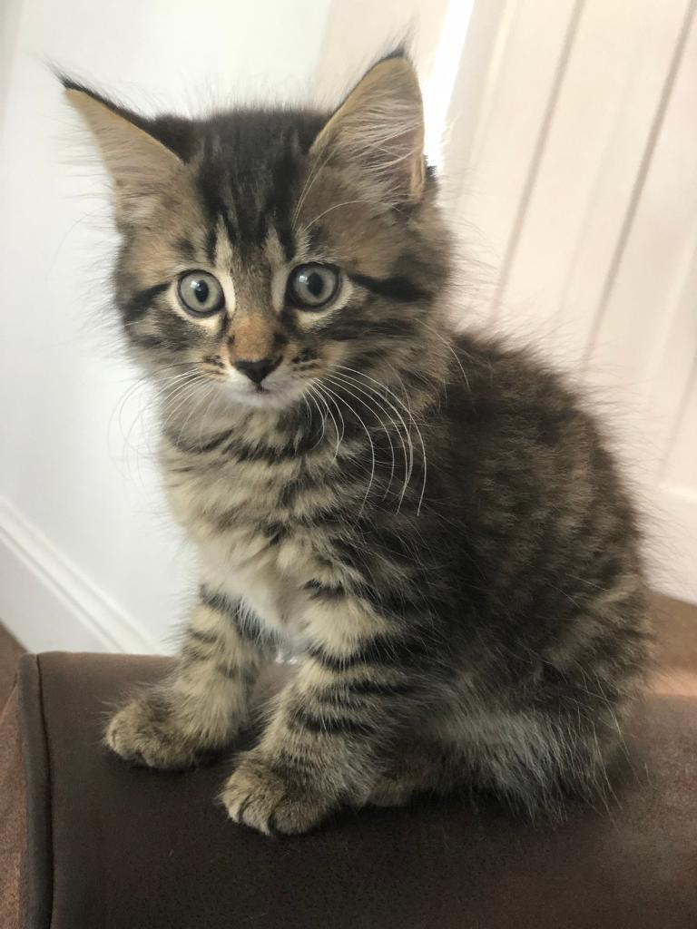 Long Haired Kittens In Salford Manchester Gumtree