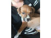 11 week old staff X mastiff had first lot of jabs been wormed