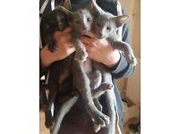 Beautiful Oriental Kittens, 2 Blue, 2 Black.