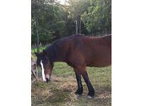 Sharer for 14.2 pony