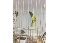 22 scotch canaries