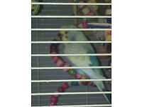 4 budgies and cage