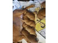 Stunning cockapoo puppies