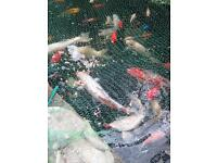 Several koi and goldfish for sale from £5.00