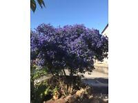 Large Californian Lilac