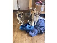 Chihuahua puppy available. Ready for home.