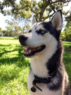 Male husky for sale, trained, socialised, blue eyes, very handsom Caboolture Caboolture Area Preview