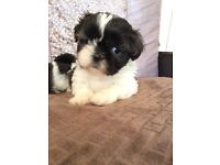 Beautiful SHIH TZU Puppies, Ready from 28 August