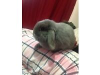 Mini lop Bunny free to a good home