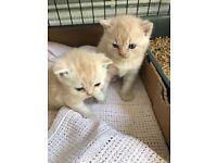 Lovely chunky British short hair kittens for sale