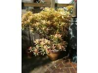 Pieris potted plant