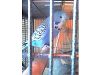 2 Budgies left for sale