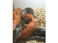 Two male corn snakes