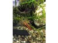 Wood shrimp
