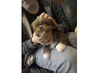 Lhasa apso X shih Tzu puppies ready to go