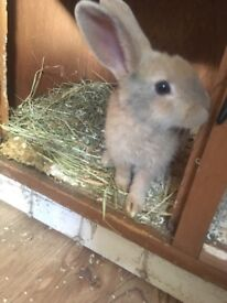 Male rabbit 4 months old