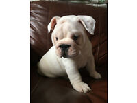 British bull dog pups looking for a forever loving home