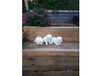 Maltese pupies