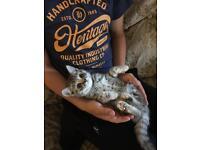 Blue spotty pedigree kitten