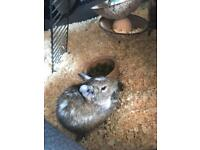 X2 male degu and cage