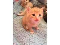 SOLD! Ragdoll x British shorthair ginger / red male kitten