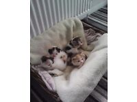 Persian cross kittens ready 18th of may