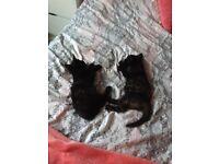 Kittens 8 weeks old