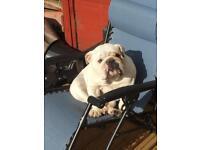 British bulldog bitch for sale