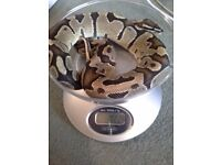 STUNNING FEMALE FIRE ROYAL BALL PYTHON SNAKE FOR SALE & BRAND NEW THERMOSTAT