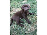 Kc Reg Chunky Chocolate Labrador Puppies