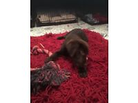 Gorgeous Chocolate Labrador Puppy SOLD