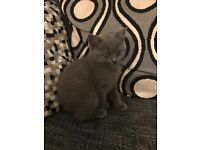 3 left gccf pedigree British shorthair kittens for sale all pure blue-1 boy 2 girls left!
