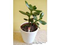 Jade Plant Money Tree in Ceramic Vase