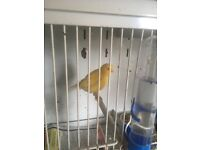 Canaries and Budgies for sale
