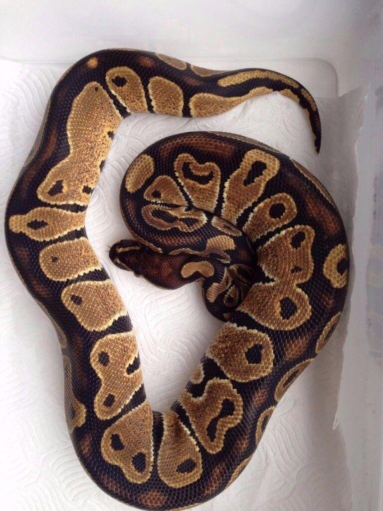 Female Ball Python for sale Normal poss het pied