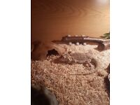 1 yeah old Bearded dragon with vivarium and accessories