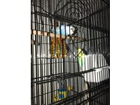 Couple of budgies for sale