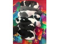 Stunning whippet pups