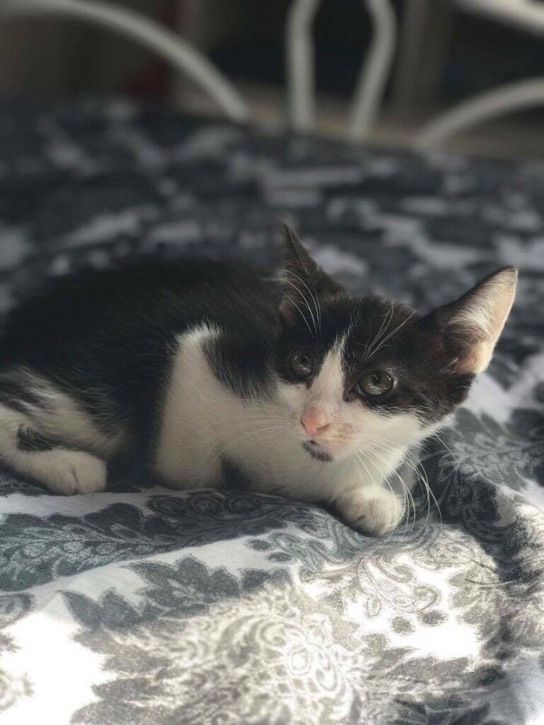 10 Week old Black and white female for sale | in Norwood, London ...