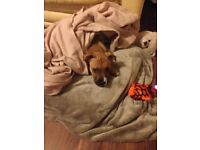 4 month old staff puppy