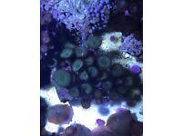 Coral zoa for marine reef aquarium fish tank