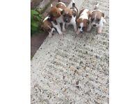 Five beautiful full bread jack Russel pups for sale