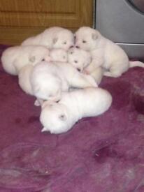 Japanese akita pups pure white