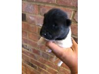 American Akita puppies Kc registered best bloodline in the Uk ready to leave 22/9/18