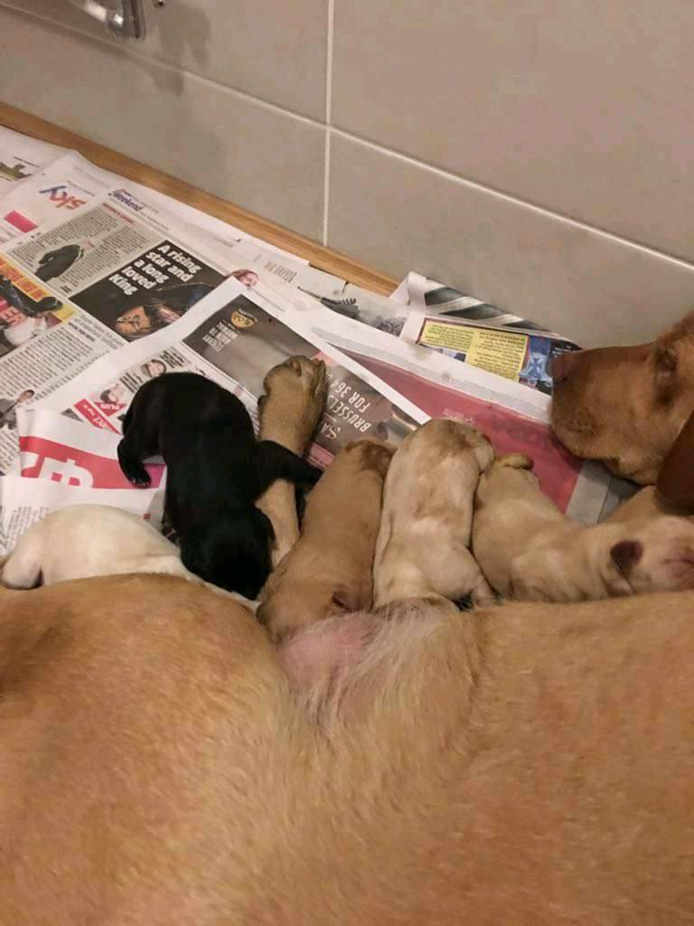 Yellow puppies for sale