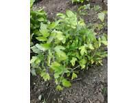 Organic Veg Plant-Tomatoes Cucumber Pepper Radish