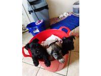 Miniature Schnauzer pups